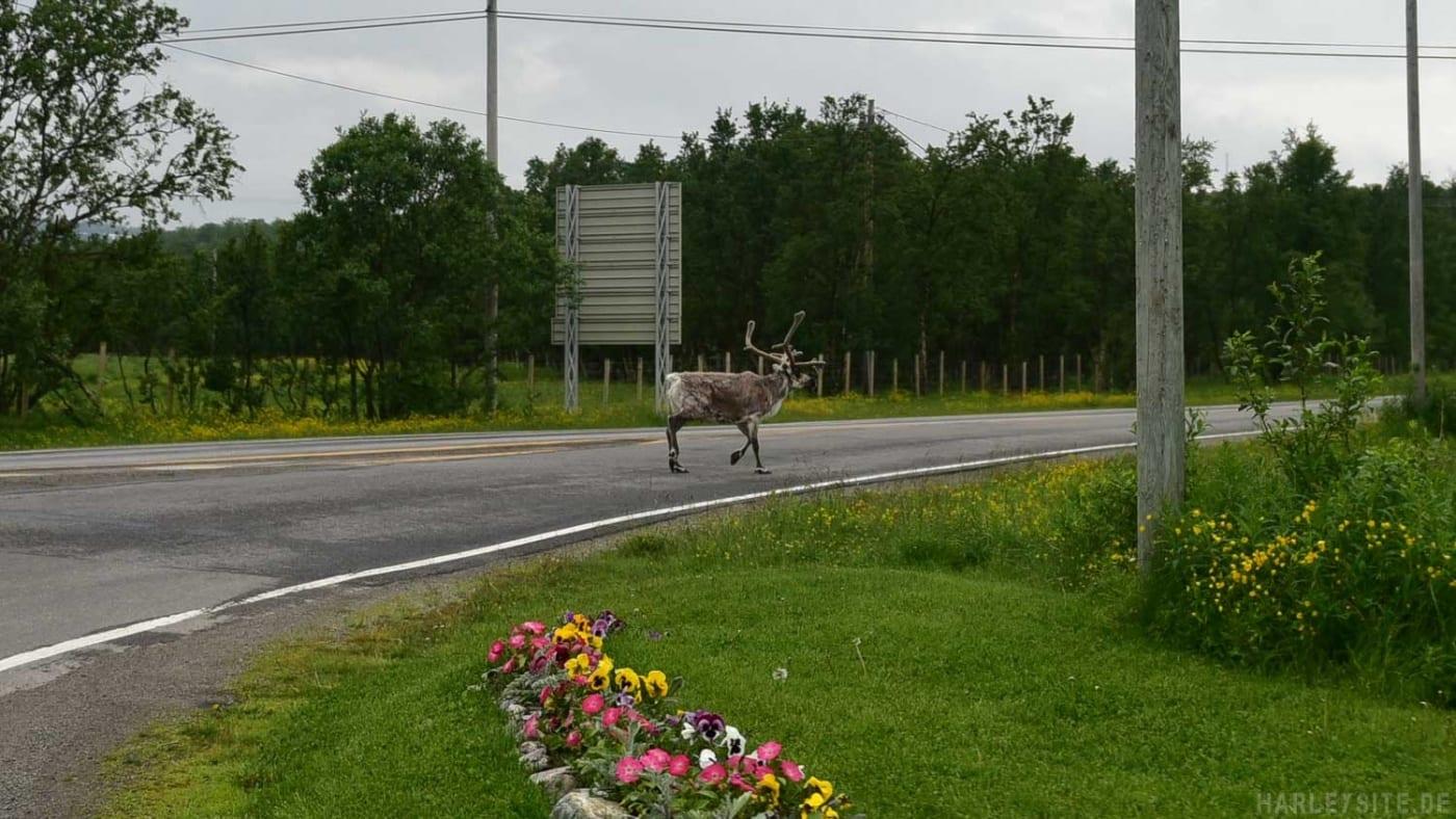 Die Rentiere laufen auf den Straßen, alleine und auch ganze Herden.