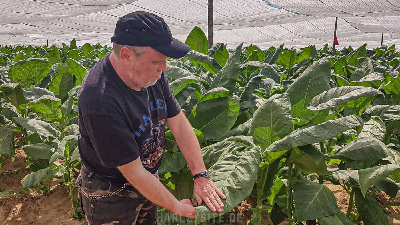 Tabakblätter auf der kubanischen Tabak Plantage
